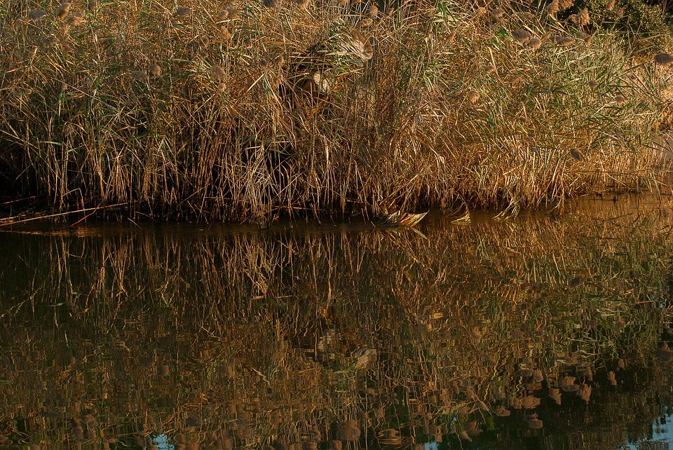 Camargue, Reeds, Reed Bed, Channel