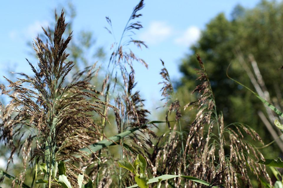 Reed, Sea Grass, Branch, Sky Blue, Field, Cereals