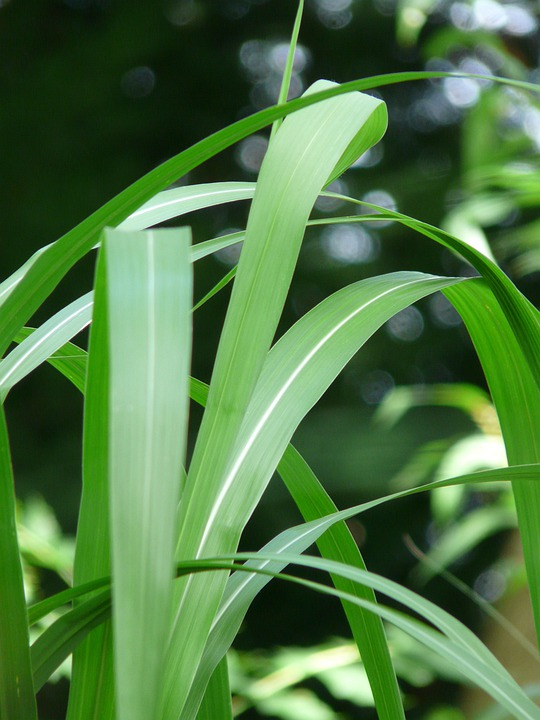 Giant Chinaschilf, Reed, Elephant Grass, Plant