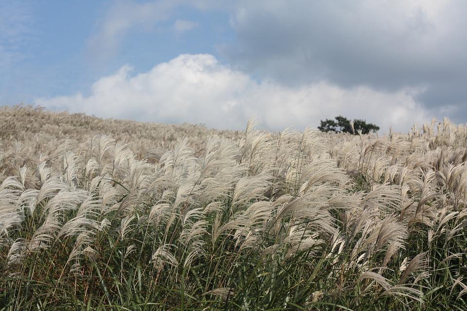 Reed, Autumn, Jeju Island