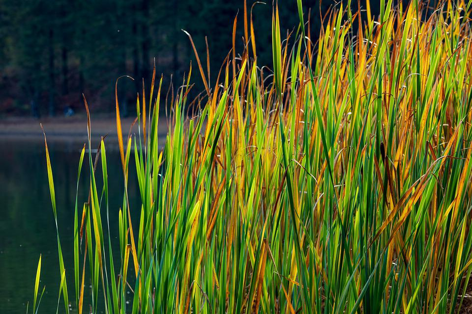 Reed, Lake, Water, Nature, Landscape, Waters, Mood