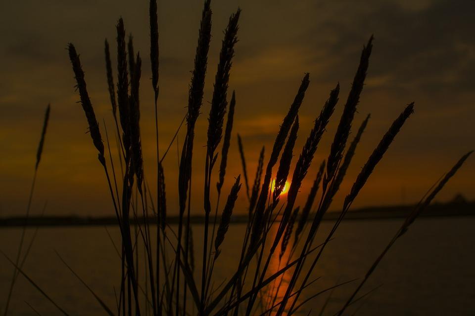 Nature, Reed, Dawn, Dry, Landscape, Sunset, Plant, Sun