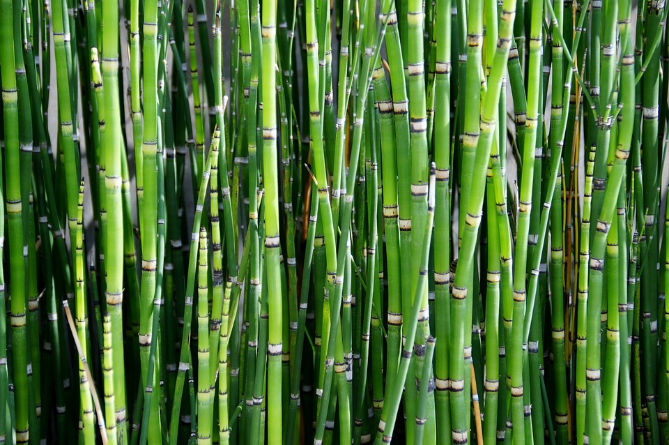 Bamboo, Plant, Reed, Green