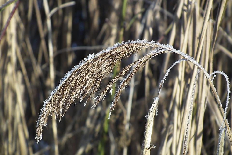 Winter, Reed, Bank, Nature, Wintry, Plant