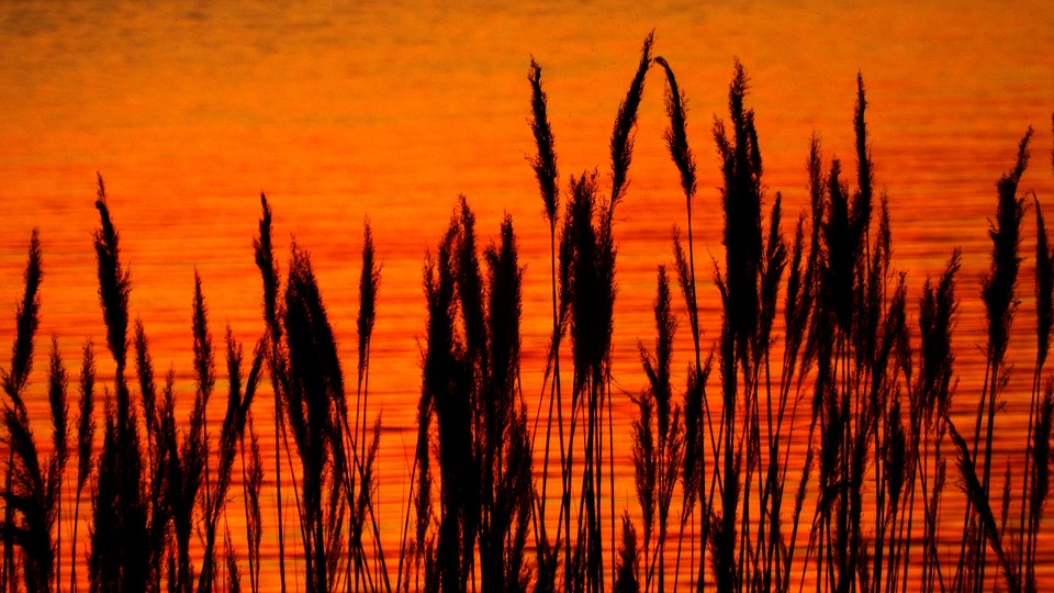 Sunset, Reed, Red, Silhouette