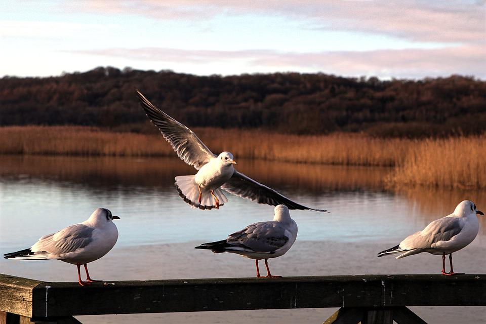 Lake, Sea, Seagull, Railing, Waters, Reed, Bird