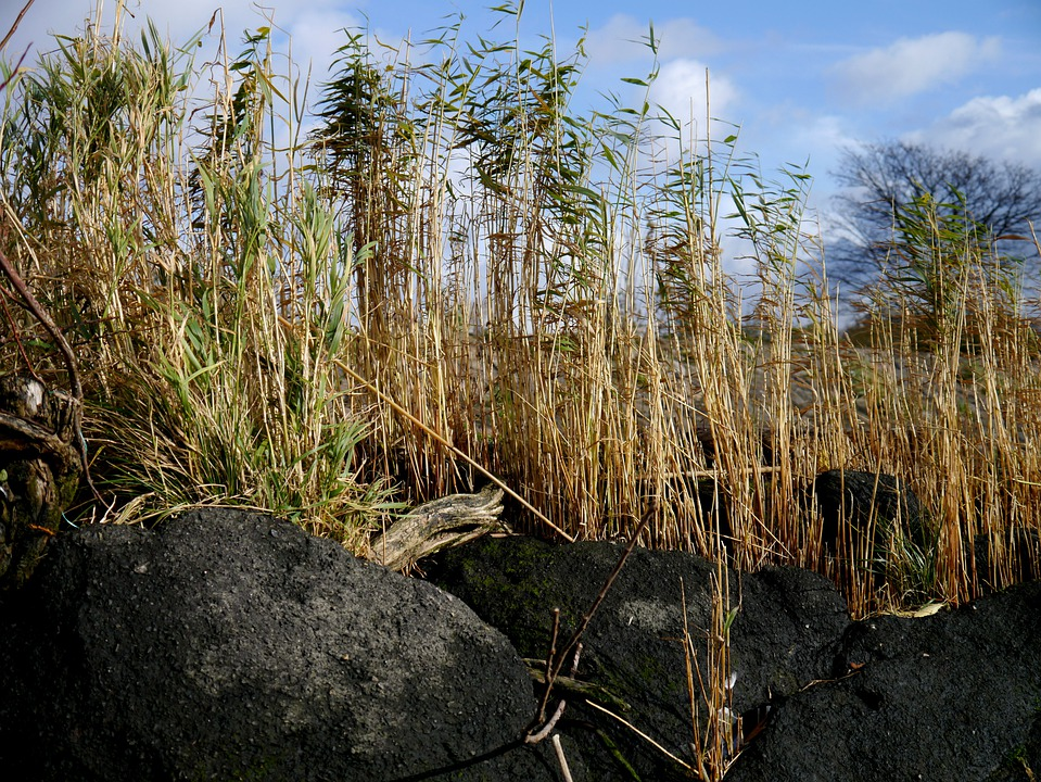 Reed, Stones, Plant