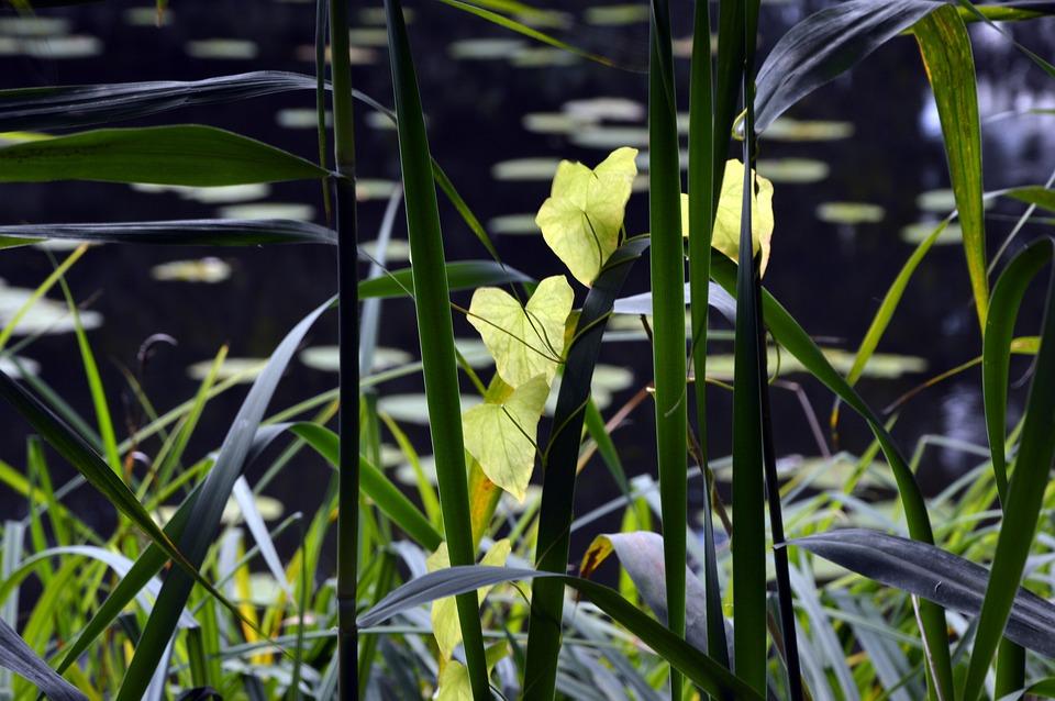 Reed, Reeds Greenhouse, Grass, Bank, Shore Plants, Lake