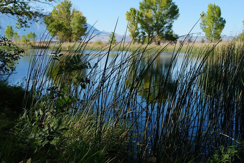 Reeds, Plants, Pond, Natural, Nature, Grass, Water