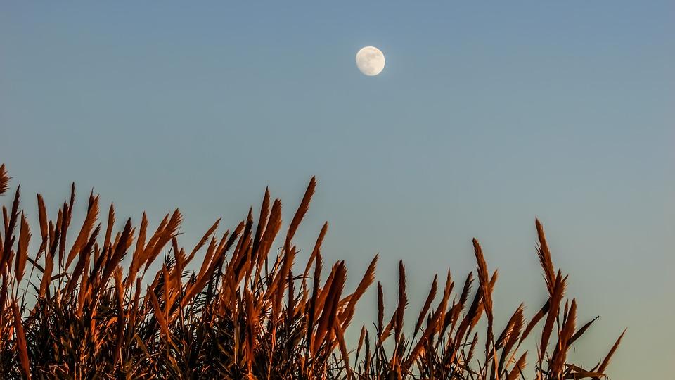 Reeds, Moon, Nature