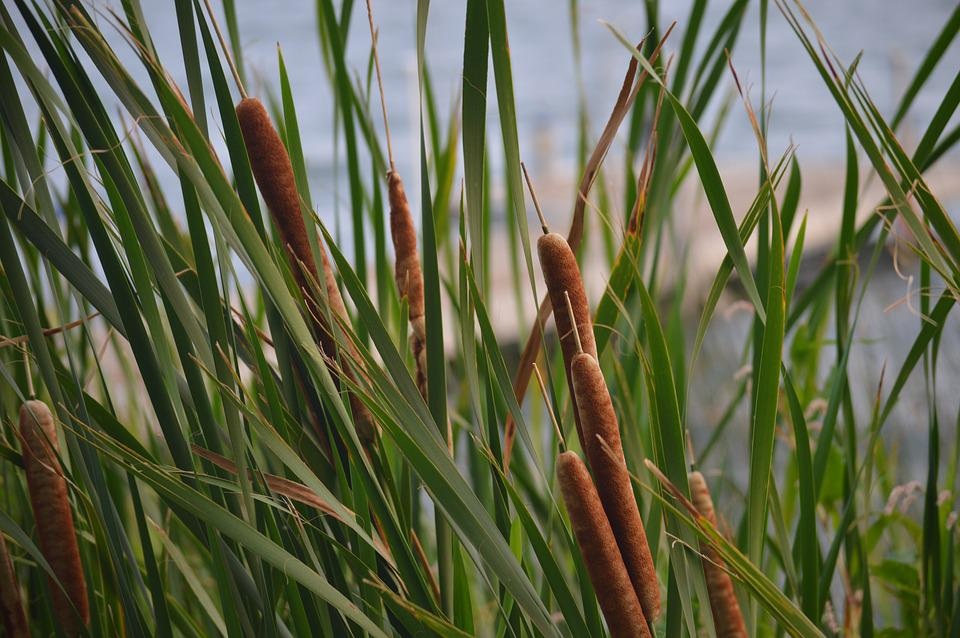 Cattails, Reeds, Lake, Lake-life, Outdoors, Plant
