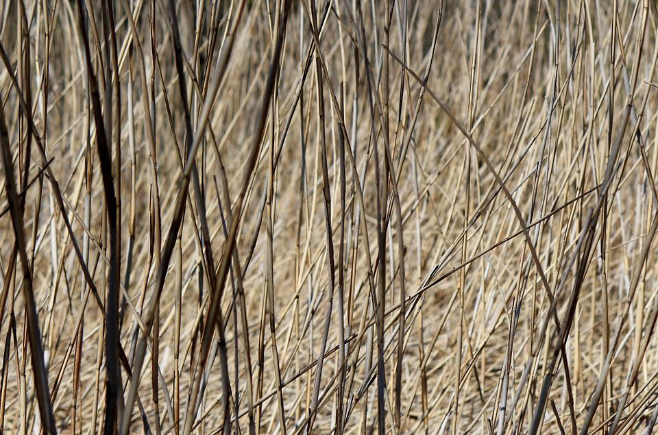 Reed, Reeds, Moor, Rush, Nature