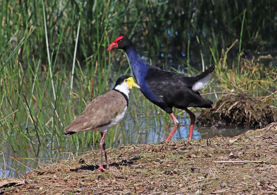 Birds, Coot, Lapwing, Wading, Lake, Wildlife, Reeds