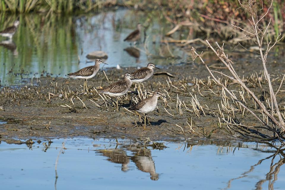 Birds, Wood Sandpiper, Lake, Shore, Reflection, Water