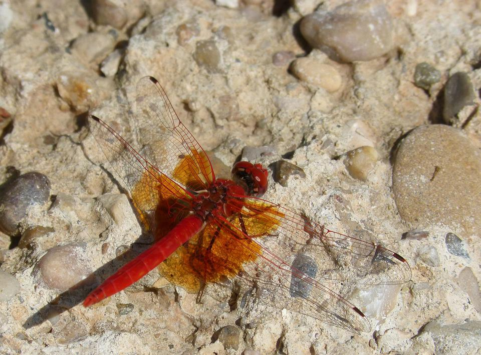 Red Dragonfly, Dragonfly, Reflection, Translucent