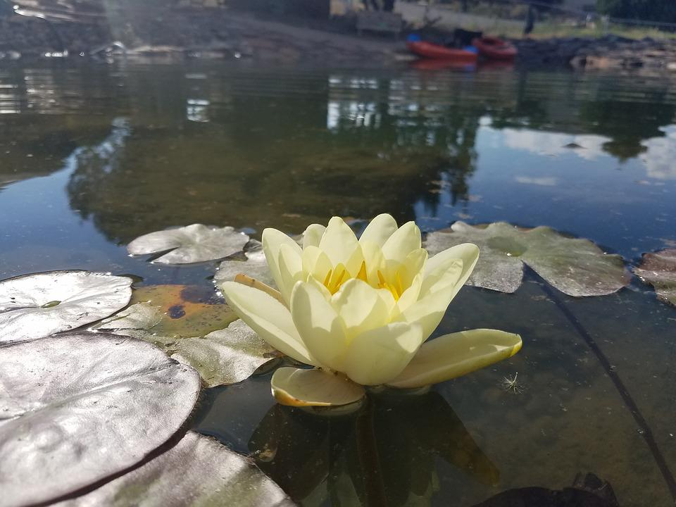Pool, Water, Lake, Nature, Reflection, Lilly, Flower