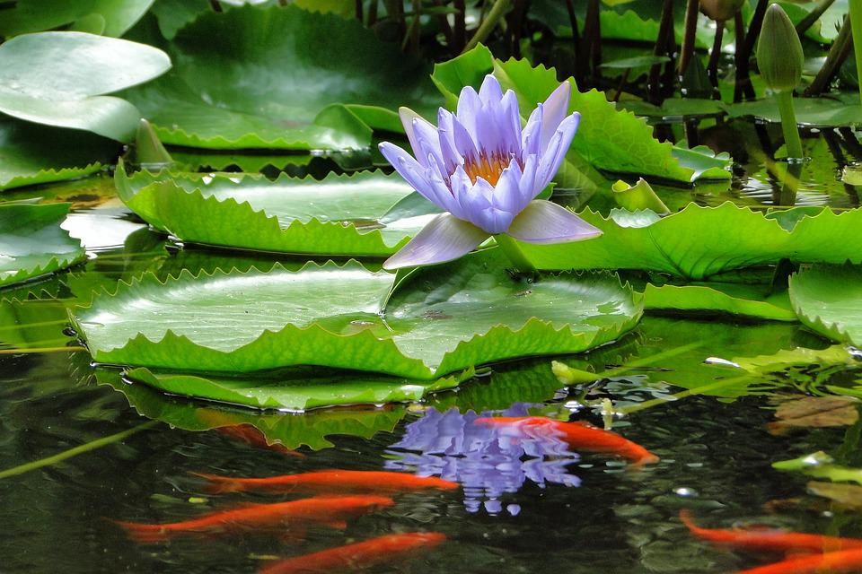 Nymphaea Alba, Lotus, Summer, Reflection, Flower, Pool
