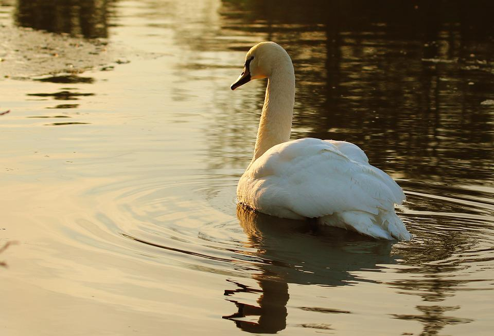 Swan, Waterfowl, Pond, Feather, Reflection