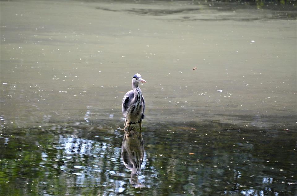 Heron, Bird, Pond, Water, Reflection, Water Bird