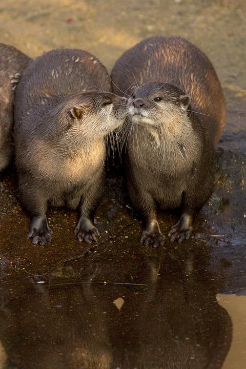 Otters, Animals, Zoo, Water, Reflection, Mammals