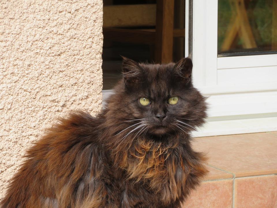 Cat, Black, Hair, Long, Reflections, Brown, Eyes