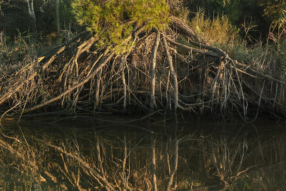 Roots, Trees, Reflections, River, Marsh