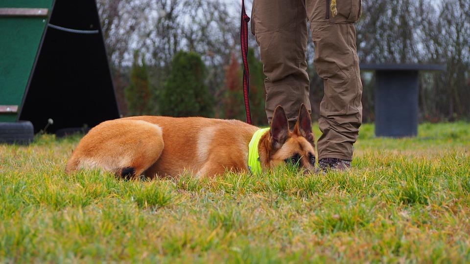 Dog, Lezat, Lahni, Obedience, Reflective, German Ouciak