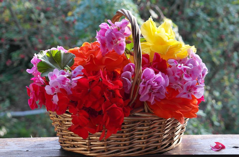 Geranium, Petunia, Balcony Plants, Regal Pelargonium