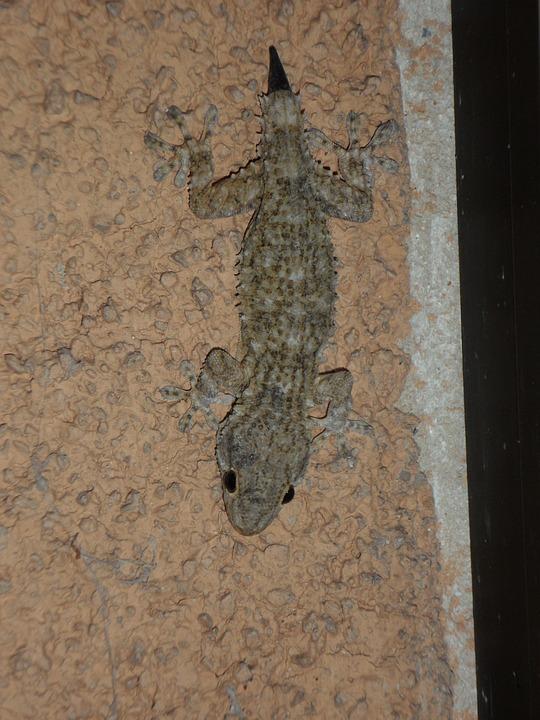 Gecko, Mediterranean, Reptile, Lizard, Pigmy, Regrowth