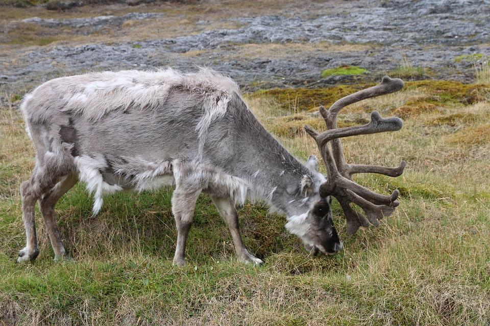 Svalbard Reindeer, Reindeer, Svalbard