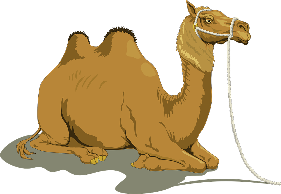 Camel, Sand, Two, Humps, Resting, Reins, Animal, Shadow