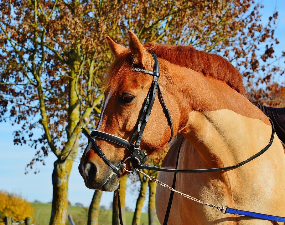Horse, Animal, Ride, Reiterhof, Brown, Coupling, Meadow