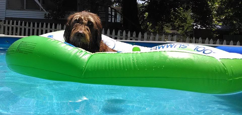 Labradoodle, Pool Raft, Relaxation, Sun, Pool, Swimming