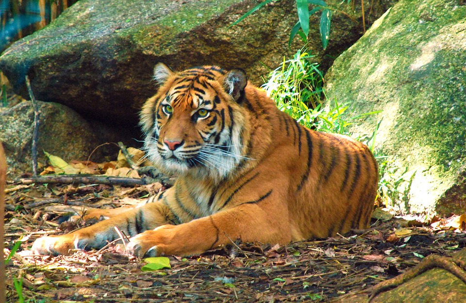 Tigers, Animals, Mammals, Wildlife, Resting, Relaxing