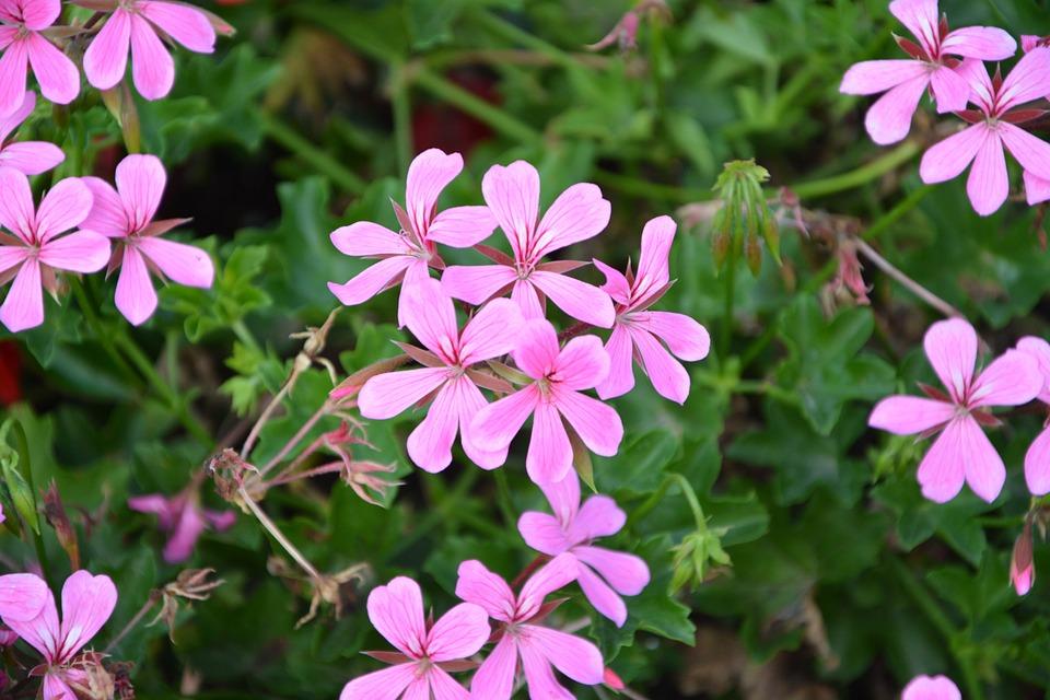 Geranium Simple Flower, Color Pink, Repel Mosquitoes