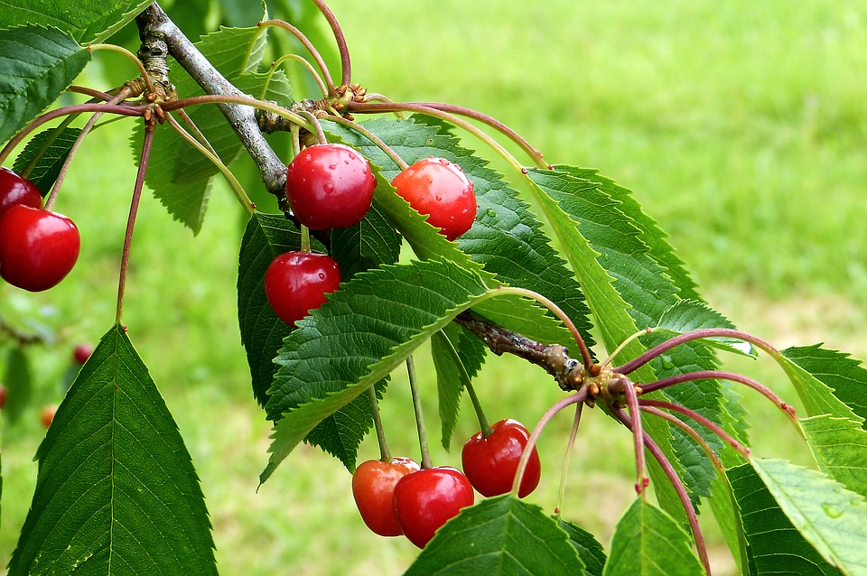 Cherry, Reported, Nature, Summer, Fruit, Red, Healthy