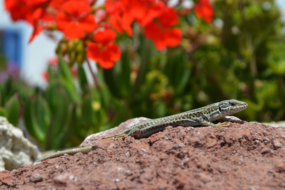 Lizard, Salamander, Gecko, Reptile, Animal, Nature