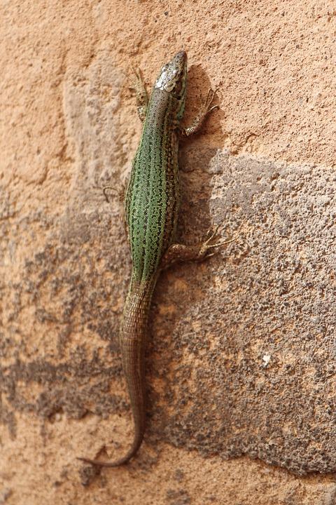 Gecko, Reptile, Lizard, Animal, Mallorca, Wall
