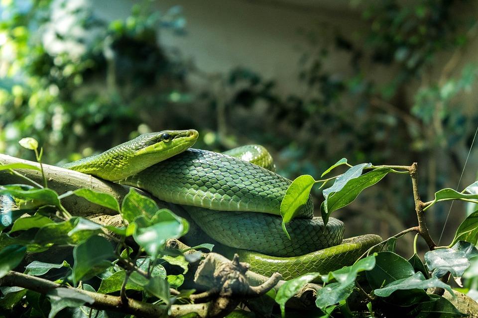 Snake, Zoo, Animal, Reptile, Terrarium, Green, Scale