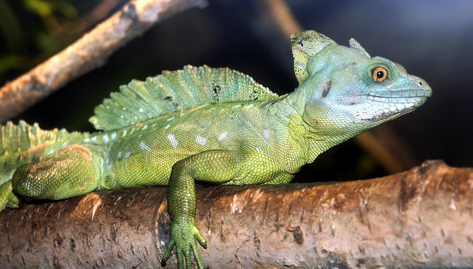 Animal, Reptile, Green Iguana, Nature