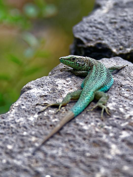 Lizard, Stone Wall, Reptile, Curious, Animal World