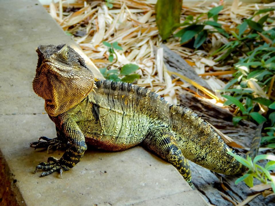 Lizard, Water Dragon, Australia, Reptile, Wildlife