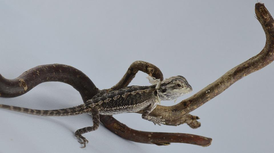 Bearded Dragon, Lizard, Agame, Reptile, Amphibian