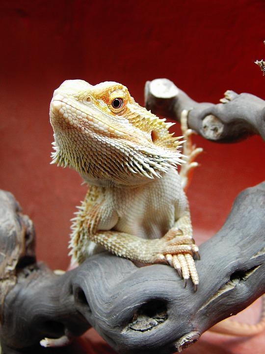 Bearded Dragon, Reptile, Pogona Vitticeps
