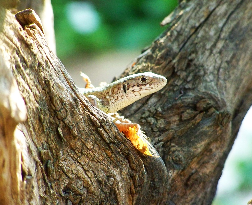 Brown Lizard, Reptile, Animal