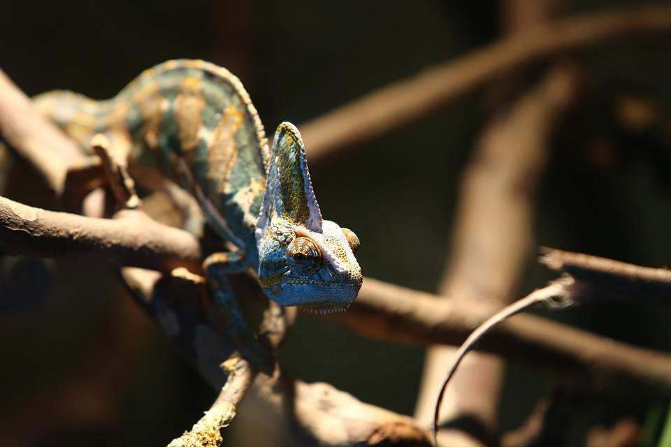 Chameleon, Reptile, Madagascar