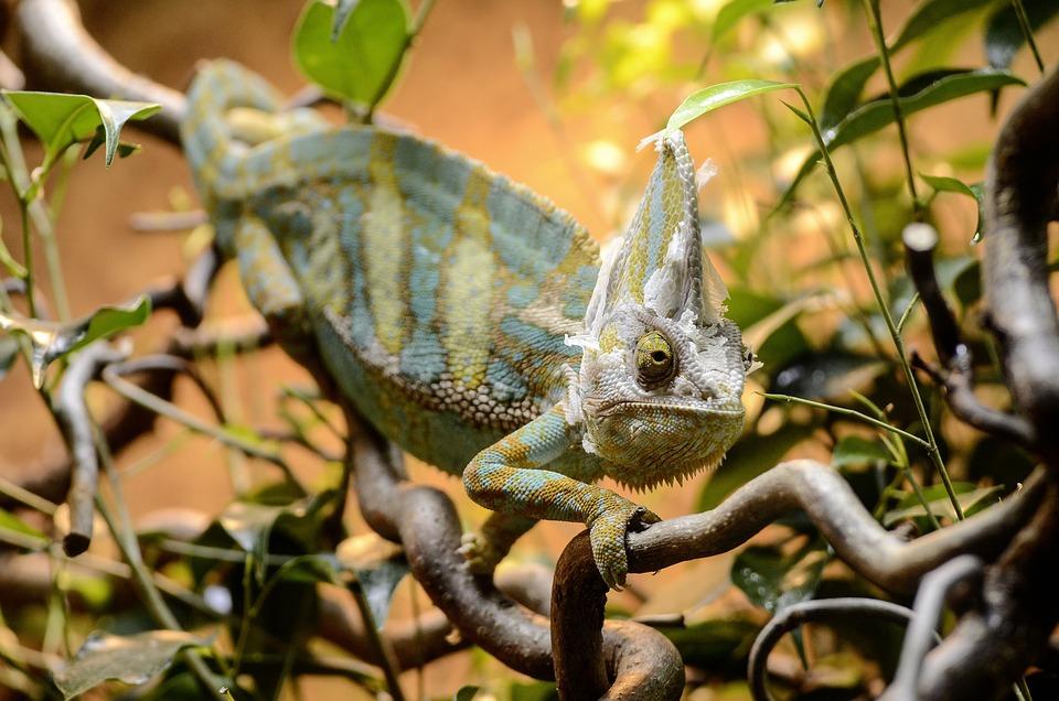 Yemen Chamäläon, Reptile, Camouflage, Chameleon, Lizard