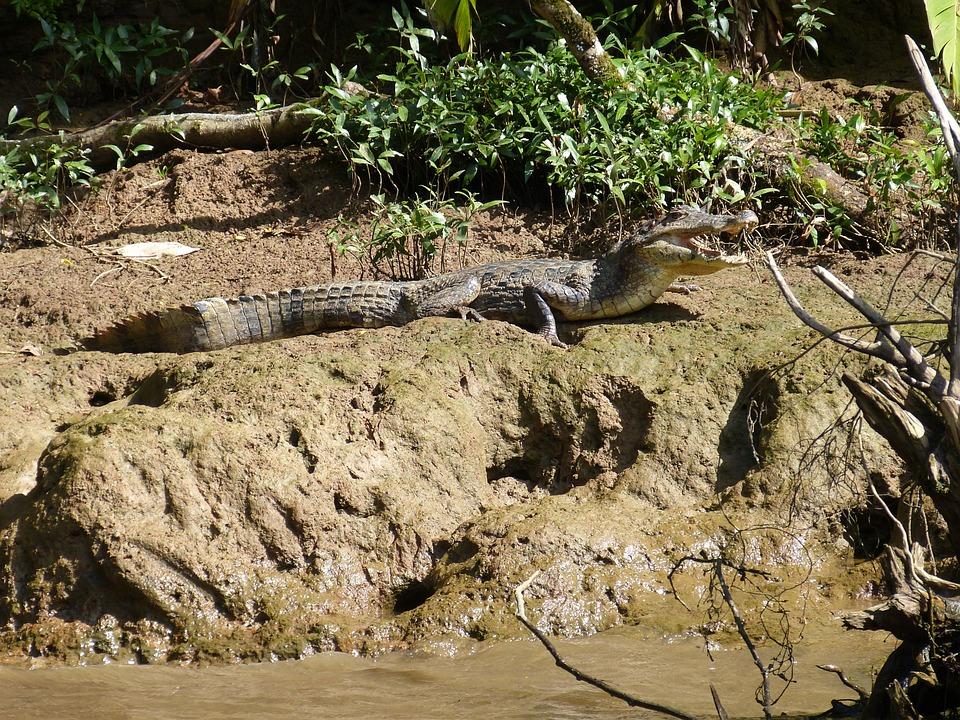 Cayman, Reptile, Animal, Tooth, Bite, Crocodile