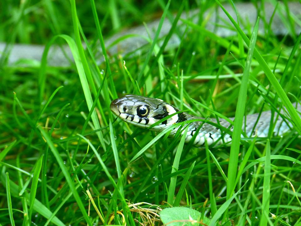 Grass Snake, Snake, Head Game, Mind Drawing, Reptile