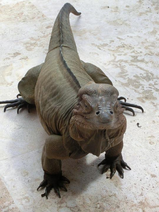 Iguana, Lizard, Reptile, Animal, Scaly, Lizards